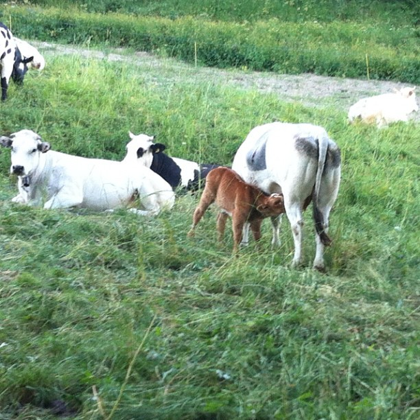 Cows in the field above my house. The little brown chap is a very new arrival.
