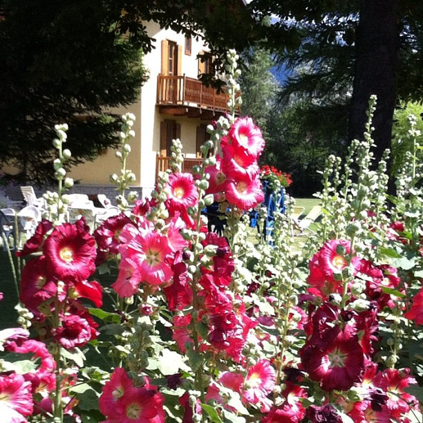 Hollyhocks at the #cascinagenzianella, Oulx