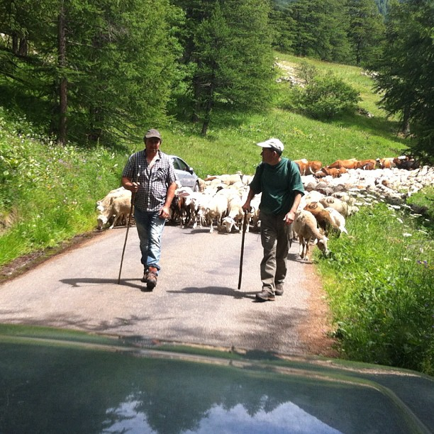 Small road block, sheep cows and goats!!