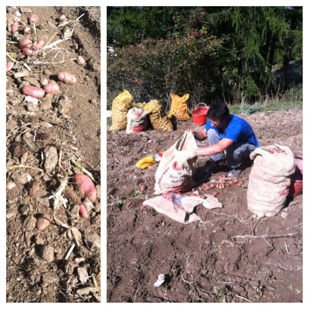 Potato harvest, good crop now in the #hotelstellalpina garage ready for the hotel restaurant this winter