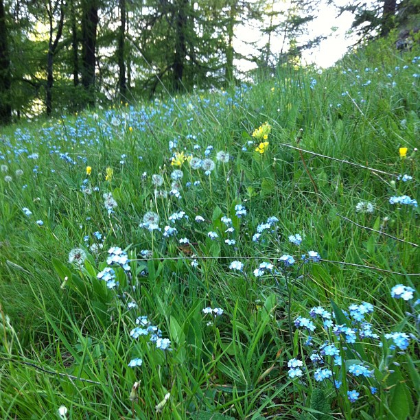 Forget me nots, my favorite wild flower #sauzedoulx