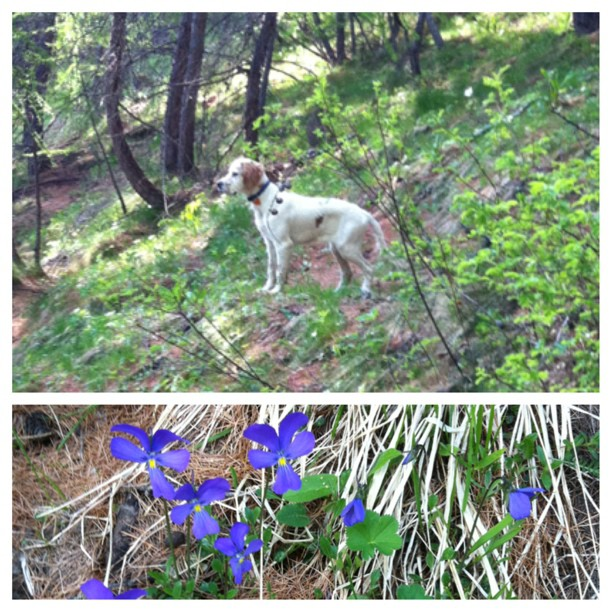 Early morning walk in #sauzedoulx with Floc, first wild violets ,has spring arrived just in time fir summer!!!