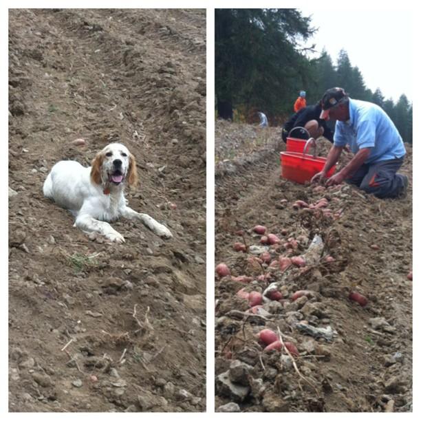 Floc really enjoyed his 1st potato harvest in #sauzedoulx