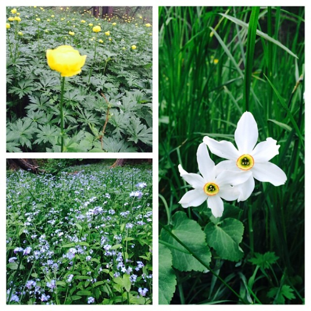 Just some of our beautiful wild mountain flowers #summertime #sauzedoulx #cascinagenzianella #oulxoutdoor