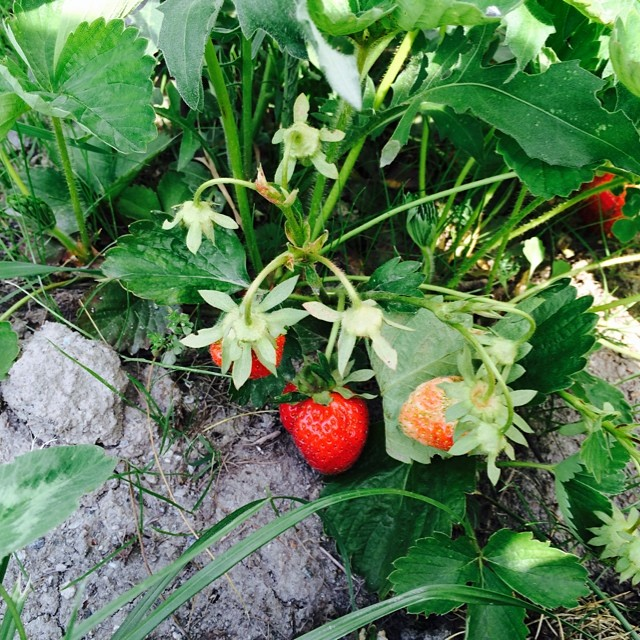 First strawberries at #cascinagenzianella @littlelaraskier