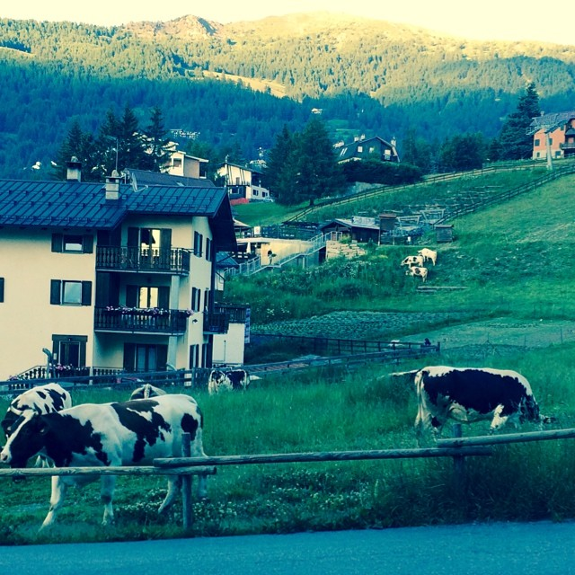 Cows on Clotes#sauzedoulx infront of the #stellalpinahotel