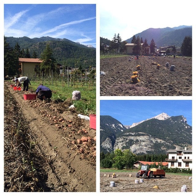 Potato harvest at the #cascinagenzianella, 100%bio and used through out the winter at the #stellalpinahotel #sauzedoulx