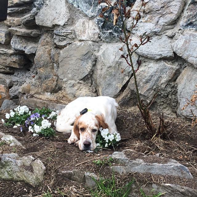 Floc thinks he's a flower! #englishsetter#sauzedoulx #skisauze