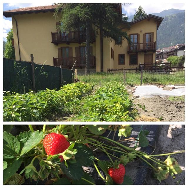 strawberries looking good at the #cascinagenzianella #altavallesusa #skisauze