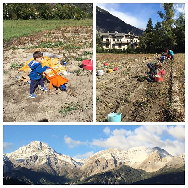 Annual potato harvest at the#cascinagenzianella on not a very warm day!!