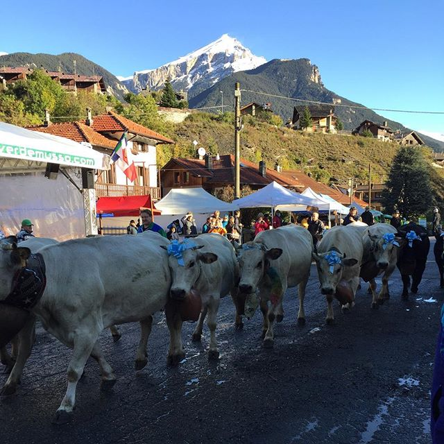 The first cows arriving at the #fierafranca oulx #altavallesusa